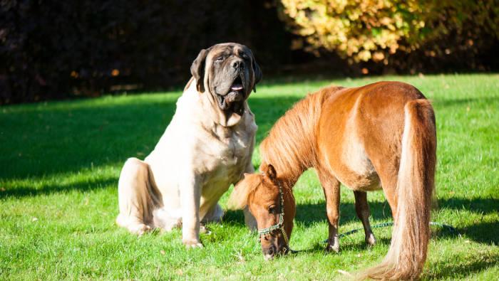 Ein großer Hund und ein kleines Pferd - ungefähr die gleiche Größe
