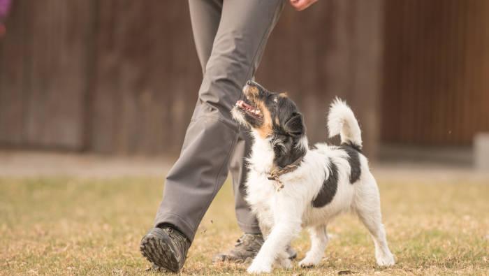Gut erzogener Hund geht ohne Leine