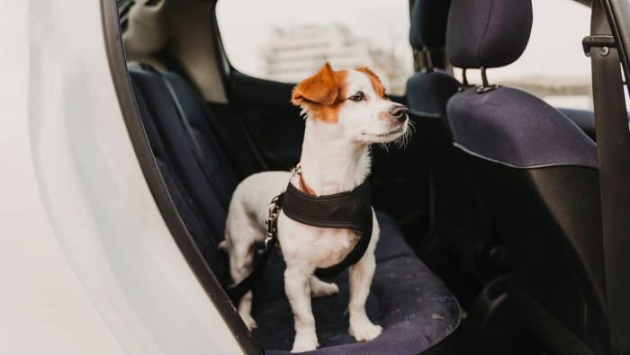 Hund im Auto mit Sicherungsgeschirr