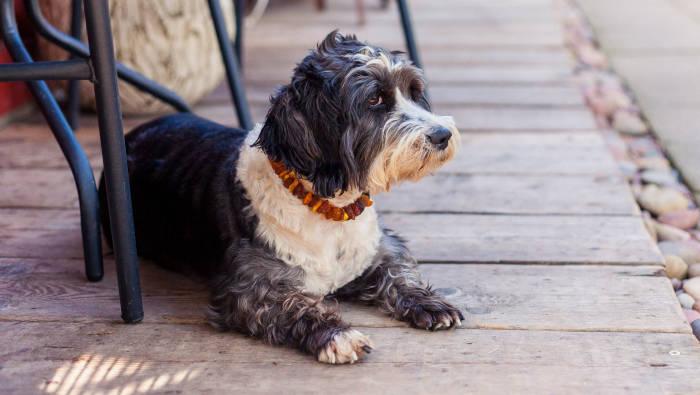 Hund mit Bernsteinkette - hoffentlich ohne Flöhe und Zecken