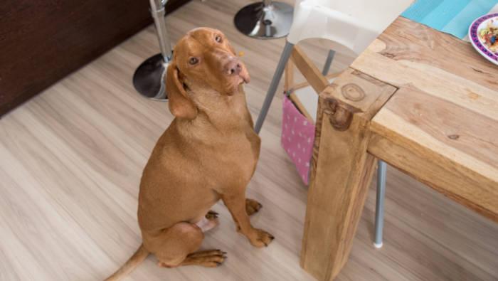 Hund bettelt am Tisch - der Versuch, seinen Menschen zu dominieren