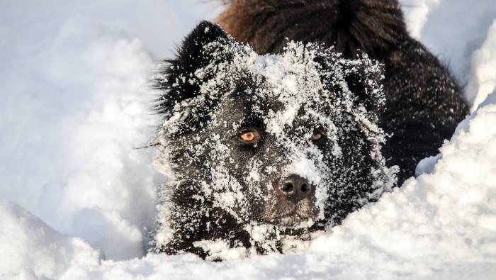 Hund im Schnee - schwarzer Hund ganz weiß