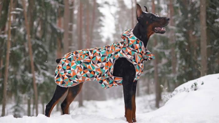 Hund (Dobermann) in einem bunten Mäntelchen
