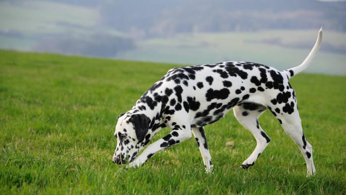 Hund schnüffelt am Boden, Dalmatiner