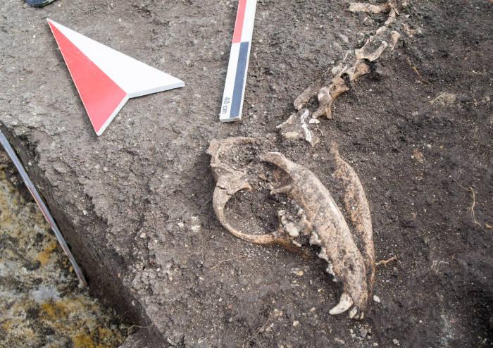 Bei archäologischer Ausgrabung gefundener Hundeschädel