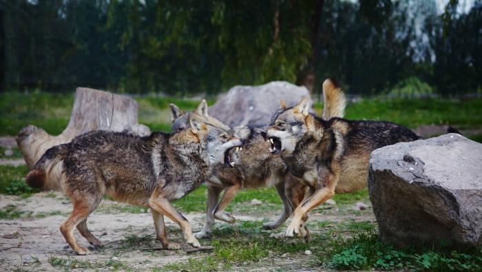 Kämpfende oder gegenseitig drohende Wölfe