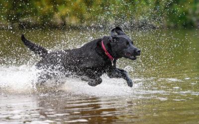 Labrador Retriever – Was ist aus dem Familienhund geworden?