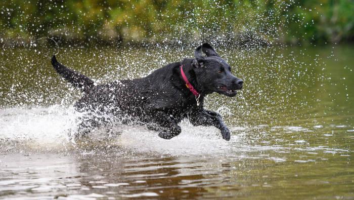 schwarzer Labrador Retriever im Wasser
