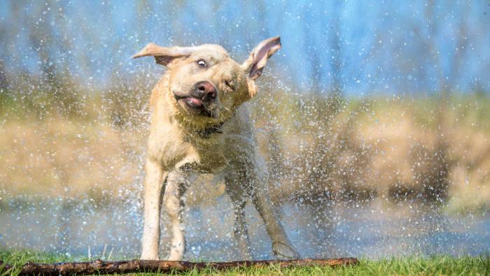 Labrador schüttelt Wasser und auch sonst alles ab