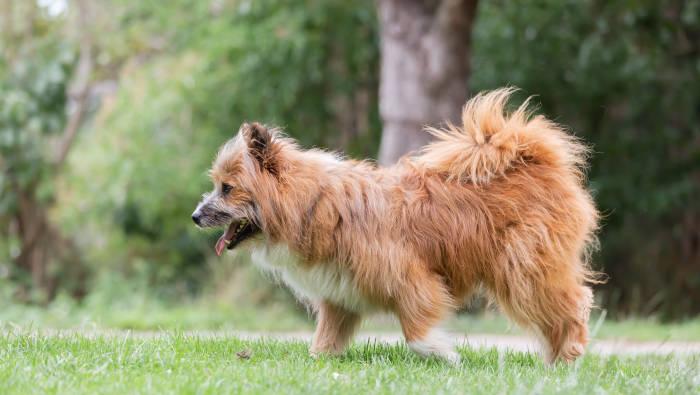 Modehund Elo®- markenrechtlich geschützt, aber nicht von der FCI anerkannt