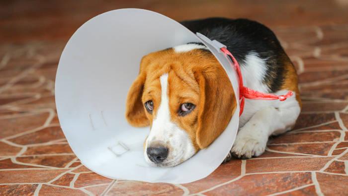 Nach der Operation trägt der Hund einen Schutzkragen