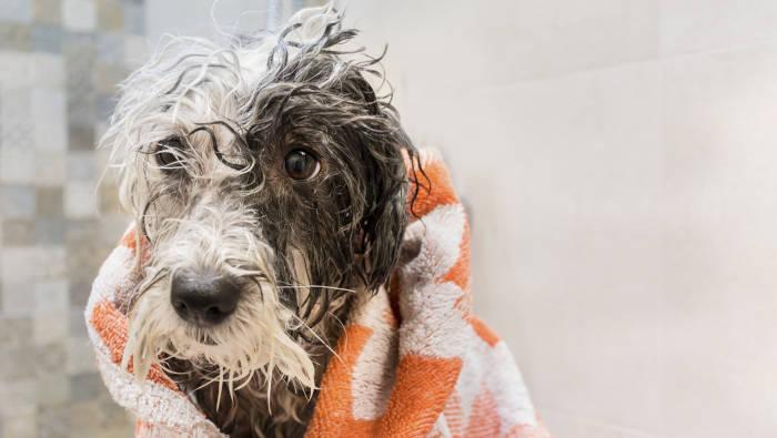 Nasser Hund nach dem Baden, in ein Handtuch gewickelt