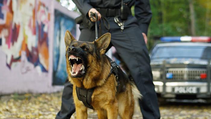 Ein Polizeihund an der Leine bellt und droht
