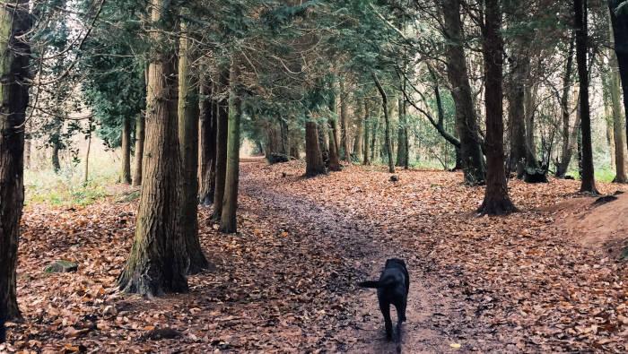 Ein schwarzer Labrador läuft durch den Wald