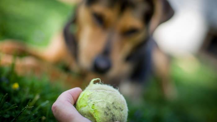 Tennisball - der Hund ist Fan, der Mensch hat oft keine Lust mehr zu werfen