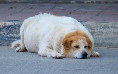 Der Hund ist zu dick