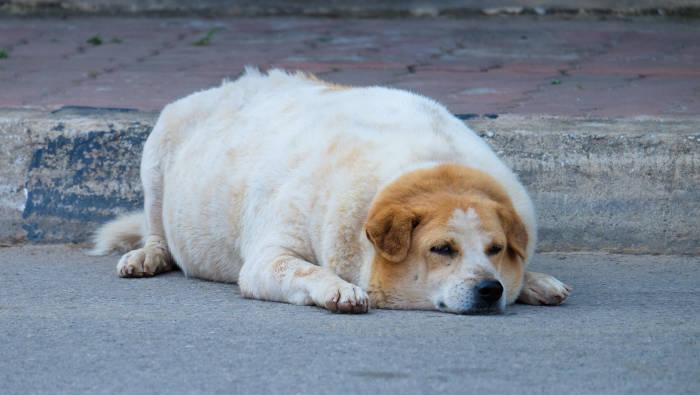 Ein übergewichtiger Hund, der dringend abnehmen sollte