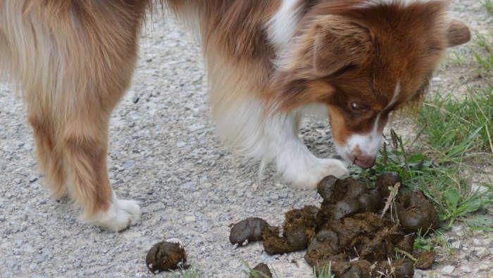 Ein Hund schnüffelt an Pferdeäpfeln