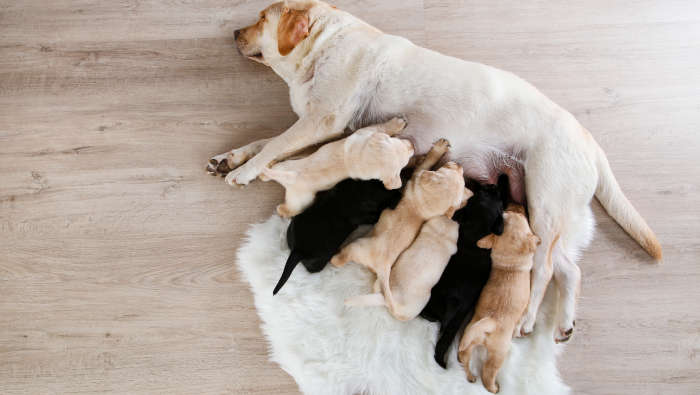 Ein Wurf Labrador Retriever in verschiedenen Farben